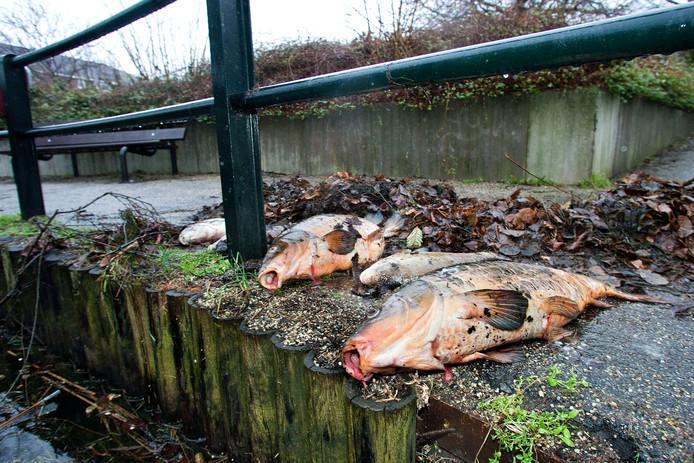Vissen zijn regelmatig het slachtoffer van maaiboten. Deze vissen legden enkele jaren geleden het loodje in Dordrecht.