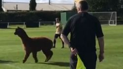 Speelse alpaca legt voetbalmatch stil