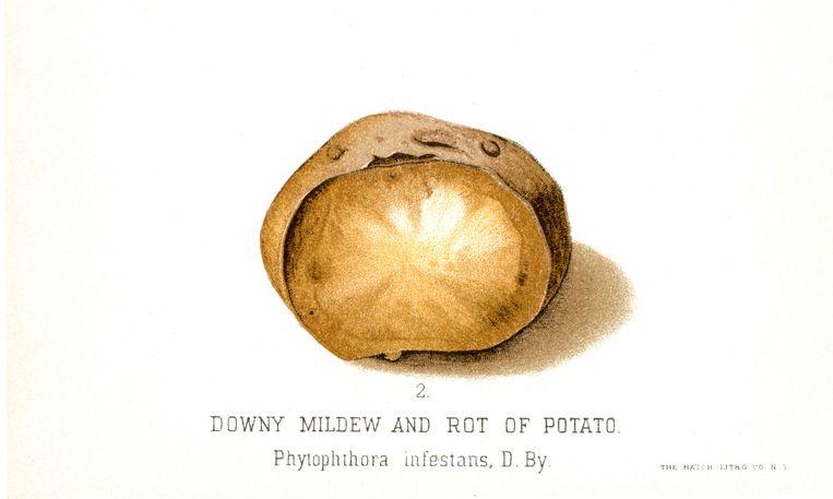 Illustratie van een rotte aardappel, van US Dept of Agriculture, uit 1888. Beeld Hollandse Hoogte / JT Vintage