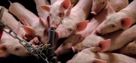 Vijf varkensboeren willen in Oisterwijk stoppen, terwijl raad tegen strengere geurnormen aanhikt