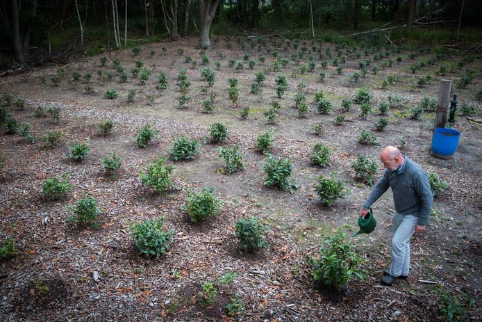 Marien Zijlstra aan het werk op zijn theeplantage in het buitengebied van Heeten.