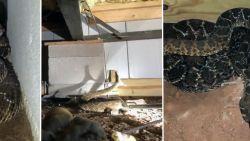 """Man ziet """"enkele"""" slangen en belt specialist. Die vindt maar liefst 45 (!) giftige ratelslangen onder huis"""