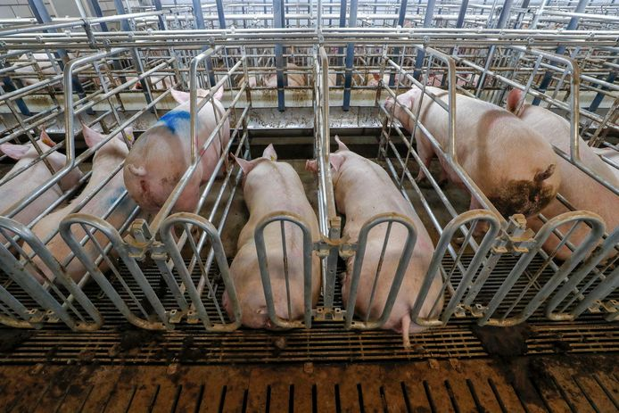 Er gaat 60 miljoen euro extra naar een stopregeling voor varkensboeren.