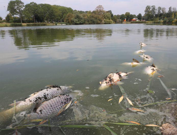 Vissterfte in de eendenvijver in het Terneuzense Zuiderpark, grote karpers dood aan de oostoever, overdekt met vliegen.