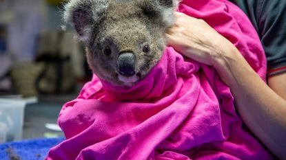 Petra stikte al meer dan 12.000 mondmaskers, Australische koala's weer vrijgelaten in het wild en andere verhalen die je opbeuren