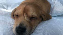 """Schattige puppy met 'staartje' op voorhoofd vindt warme thuis: """"We zijn stapelverliefd op hem geworden"""""""