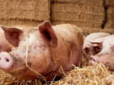 Eerste vlees van blijere varkens in de supermarkt