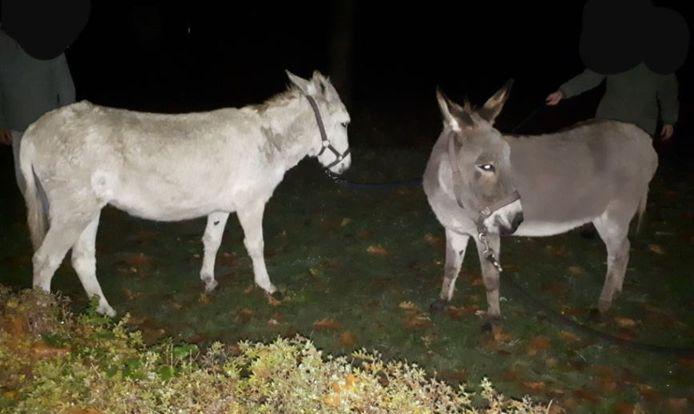 De twee ezels die vannacht aan de wandel gingen in Neede.