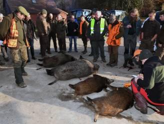 Drukjachten in Oud-Heverlee moeten populatie everzwijnen stabiliseren