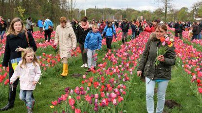 170.000 tulpen staan klaar om geplukt te worden