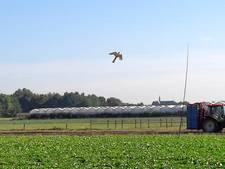 Roofvogelvlieger beschermt de oogst in Nieuwkuijk