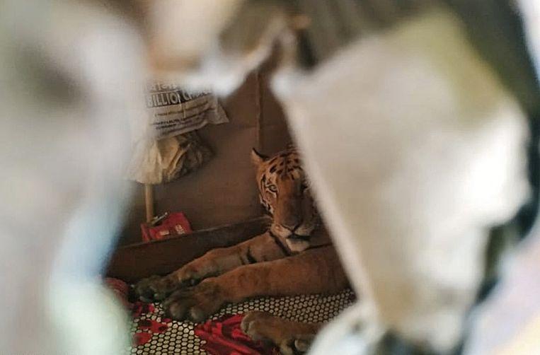 Even schuilen bij de buren, moet deze tijger hebben gedacht  toen hij neerstreek in een winkeltje in de Indiase deelstaat Assam. Die streek wordt geteisterd door moessonregens en nadat de tijger was ontsnapt uit een wildpark, zocht hij zijn toevlucht  tot dit droge plekje. Beeld EPA