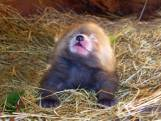 Geboortegolf bij Beekse Bergen gaat door: zeldzame rode panda geboren