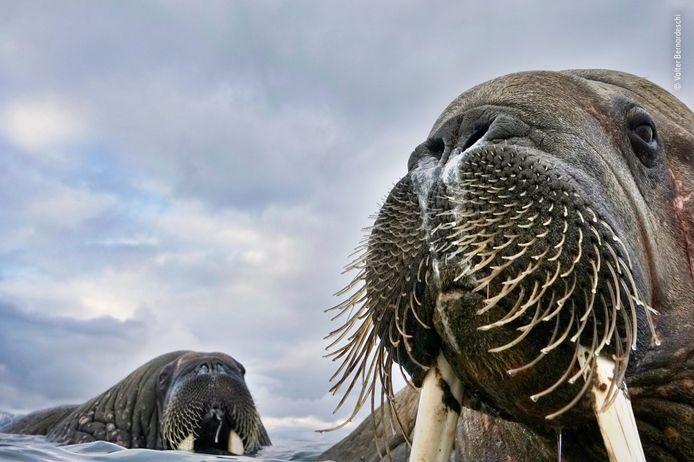 Terwijl fotograaf Valter Bernardeschi zijn camera voor hem uitstak glipte hij in het ijskoude water om de walrussen te fotograferen die hij vanuit zijn bijboot had gezien. Dit trok de aandacht van nieuwsgierige jongeren die naar hem toe begonnen te zwemmen. Geanimeerd door deze vreedzame ontmoeting, veroverde Valter dit intieme portret.