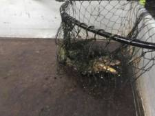 Brilkaaiman uit Pools spaarbekken gevist na krokodil-alarm