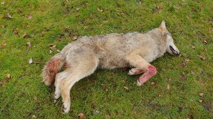 Doodgereden wolf in Opoeteren (Maaseik)  kwam uit Nedersaksen
