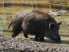 Populatie wilde zwijnen Bentheimer Wald moet inkrimpen