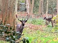 Bronstige herten in de achtertuin: 'Kiek noe'