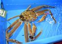 Le crabe en question