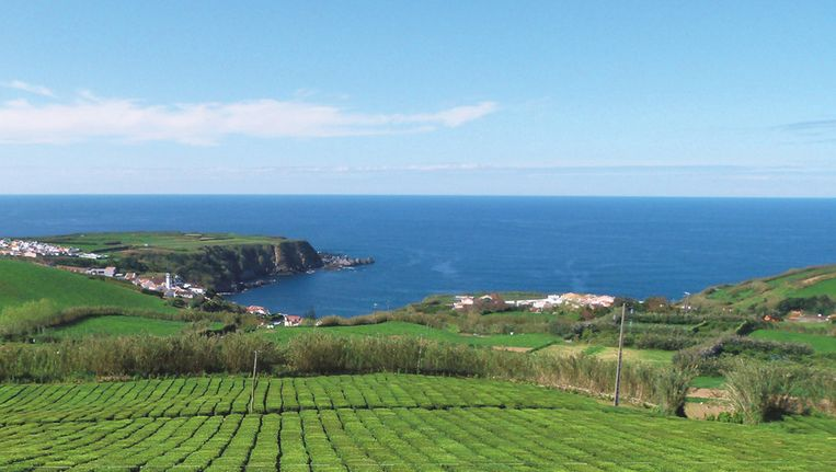 De enige theeplantages van Europa liggen aan de noordkust van São Miguel.