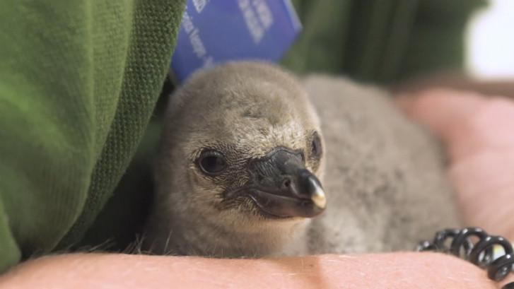 Baby pinguïn gered uit kapot ei