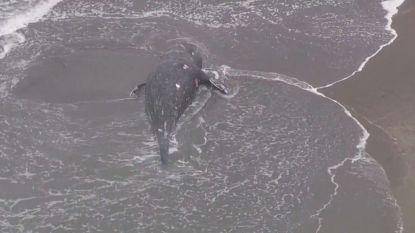 Wetenschappers maken zich zorgen: opnieuw grijze walvis dood aangespoeld in San Francisco Bay Area
