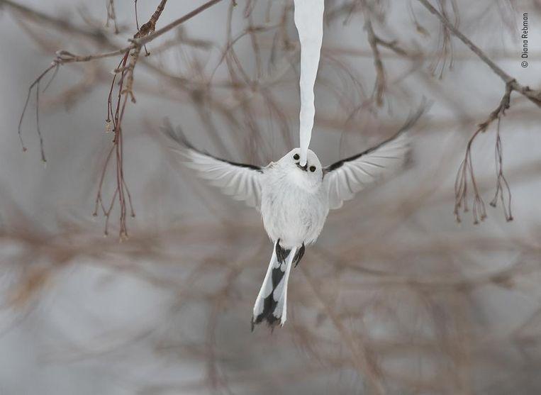 De artistiekste. een staartmees op het Japanse eiland Hokkaido nipt aan een ijspegel. Photographer Of The Year