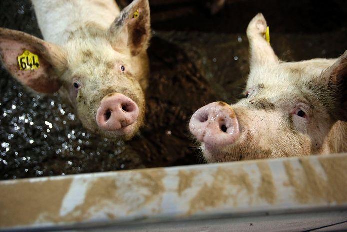 Mest van varkensboeren uit de omgeving kan bij Wout Habraken in Bergeijk worden verwerkt. Hij mag zijn bedrijf uitbreiden.