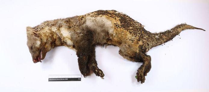 De Hoogspanningsmarter  wordt opgenomen in de collectie 'Dode dieren met een verhaal' van het Natuurhistorisch Museum Rotterdam.