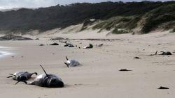 Massaal veel aangespoelde walvissen door warmere oceaan