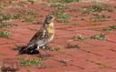 De kramsvogel is een forse lijsterachtige.