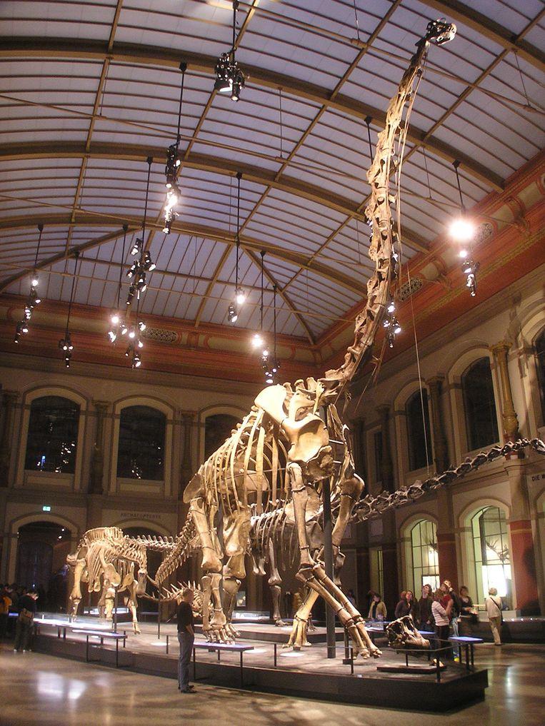 Langnek Giraffatitan brancai in het natuurhistorisch museum in Berlijn Beeld Axel Mauruszat