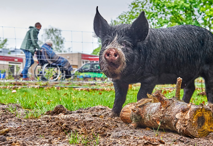 Een van de dertien varkens die is neergestreken bij de Nieuwe Hoeven.