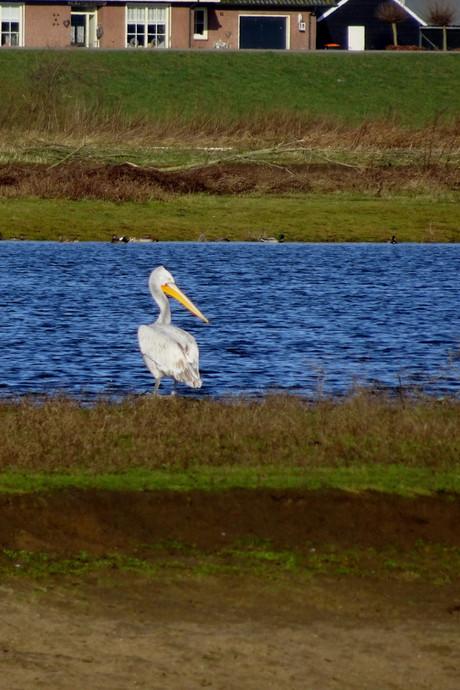 Zeldzame pelikaan duikt op bij IJssel