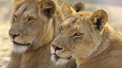 Stoffelijke resten werknemer Pakistaans dierenpark gevonden in leeuwenkooi