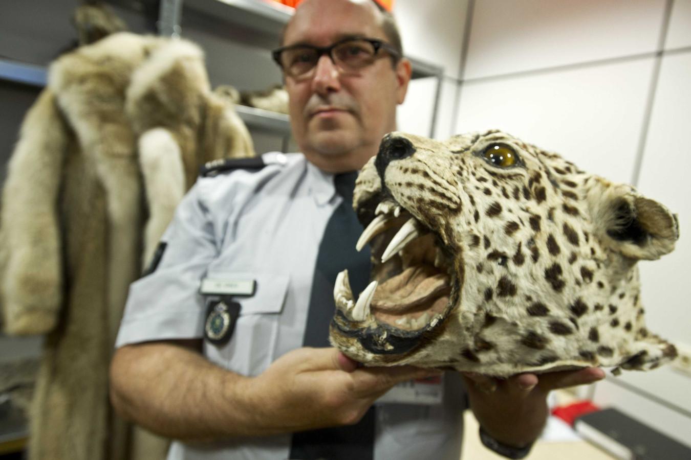 Een douanemedewerker toont een in beslag genomen opgezette kop van een luipaard.