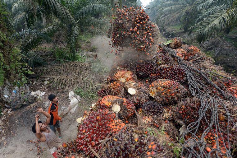 Palmoliezaden worden geoogst op Sumatra. Het landbouwoppervlak voor voedsel zou veel groter moeten worden wil aan de ecologische eisen worden voldaan. Beeld afp