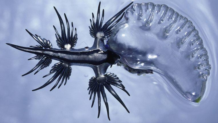 De Blauwe Draak.Een Machtig Zeewezen Met Een Stekelig Verhaal De Volkskrant