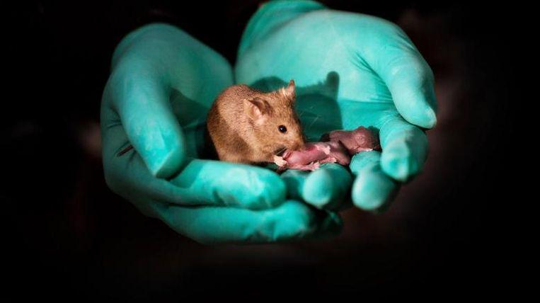 Het experiment bracht deze gezonde muis voort. Ze heeft twee moeders en geen vader. Hier is ze te zien met haar twee eigen jongen.