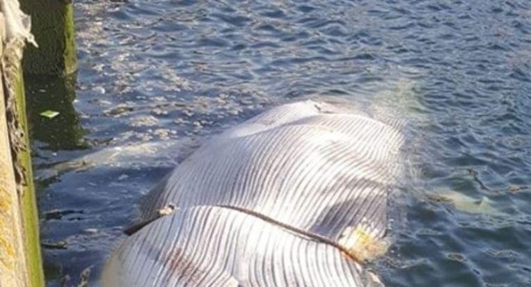 De dode vinvis die vanmorgen ontdekt werd in Vlissingen.