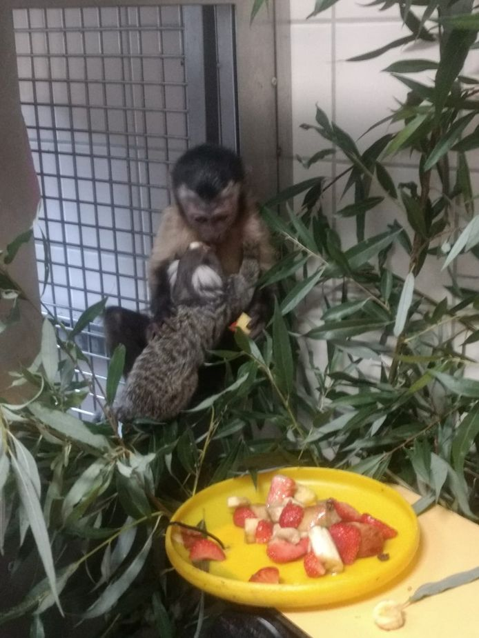 De aapjes maken het goed bij stichting AAP.