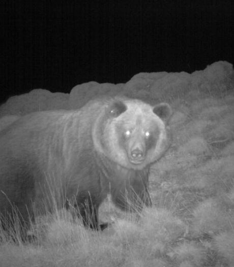 Un troisième ours abattu dans les Pyrénées, ses défenseurs enragent