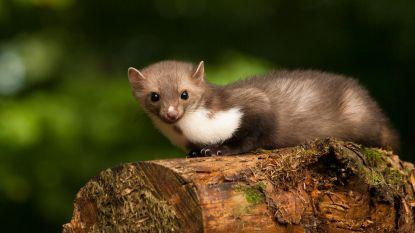 Wilde dieren rukken op: vos en/of marter zorgen voor schade