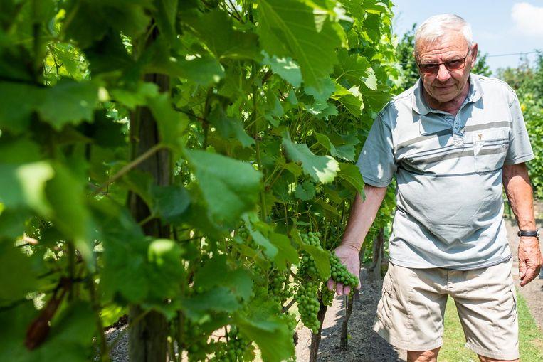 """Marcel Vermeir toont trots zijn rijpe druiven. """"Nog nooit had ik er begin juli zoveel."""""""