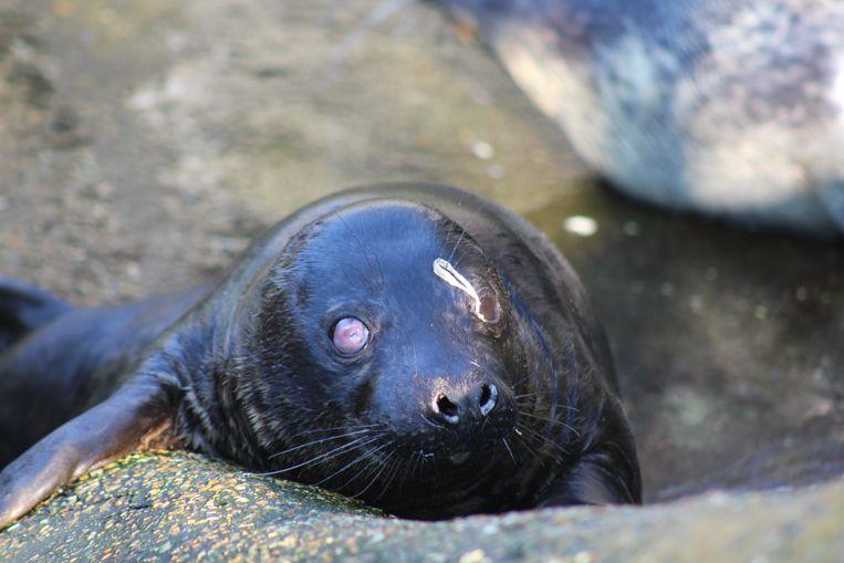 Zeehondenvrijlating Blankenberge: dit halfblind zeehondje kan perfect overleven in zee
