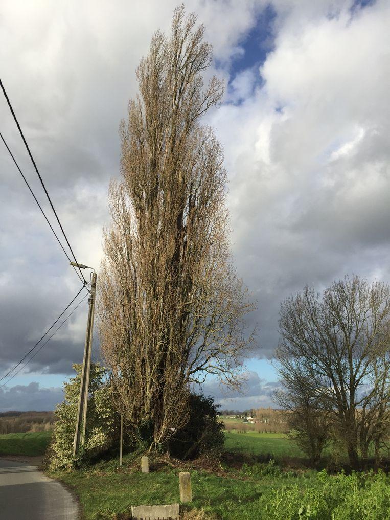 Een foto van een Italiaanse populier. Een bomenrij van deze soort wordt gekapt aan De Ceder in Beersel.