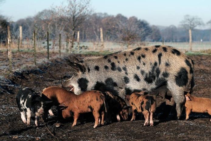 De varkens zijn bestand tegen weer en wind.