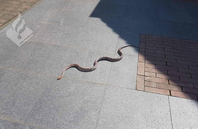 De slang die werd gevonden in Sint Anthonis.