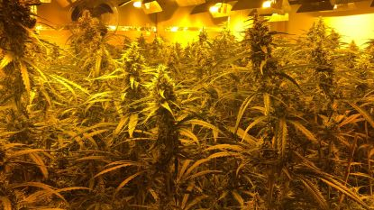 Gevonden cannabisplantages Brussel: straatwaarde loopt op tot 15 miljoen euro