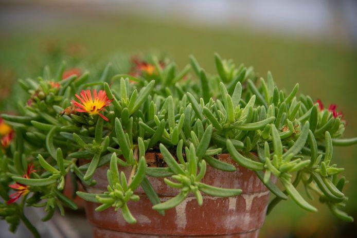 De Delosperma of Ijsbloem kan makkelijk weken zonder water en wordt gekweekt in Lochristi.